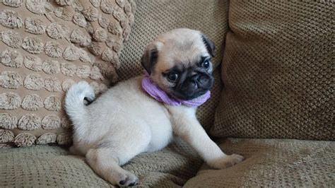 pugs for sale in charleston sc pug puppies for sale in carolina south carolina nc sc carolina pugs
