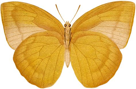 Butterfly Gold beautiful vintage gold moth image the graphics