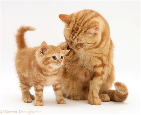and kitten tabby shorthair cat and kitten photo wp11778