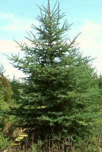 Balsam Tree - tree free wallpaper balsam fir tree