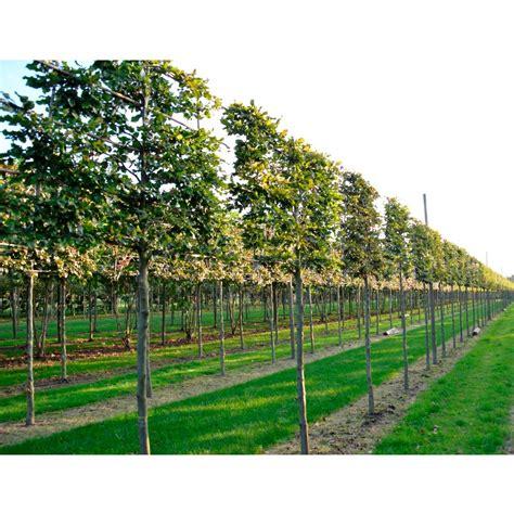 www trees pleached beech trees pleached beech hedging ornamental
