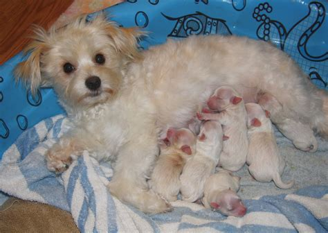 princess puppy maltese chihuahua puppy breeds picture