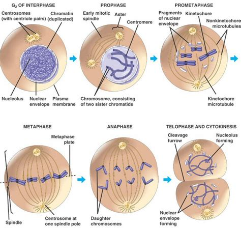 mitosis diagram stages of the cell cycle mitosis metaphase anaphase
