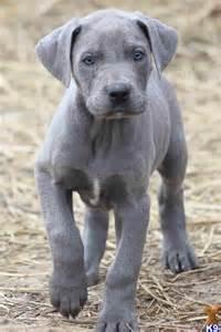 Blue great dane puppy blue great dane pinterest