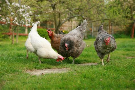 stay safe from salmonella in backyard poultry penn state