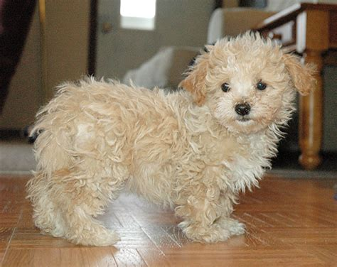 maltese yorkie poo malti poo information pictures reviews and q a greatdogsite