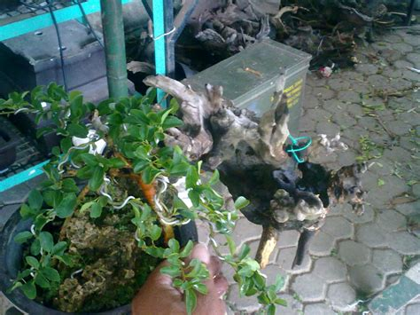 Gergaji Bonsai By Artha Bonsai Vio artha bonsai sisir quot curdania cochinchinensis quot