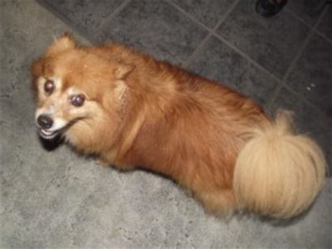 pomeranian mixed breeds is she a pomeranian or a mix breed