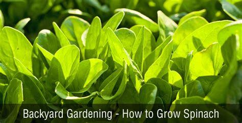how to plant a backyard garden backyard gardening how to grow spinach