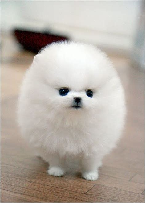 micro teacup white pomeranian micro tiny teacup white pomeranian puppy things pinte