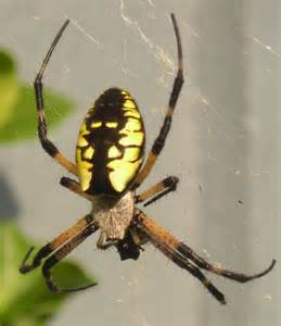 Garden Spider Name Yellow Garden Spider What S That Bug