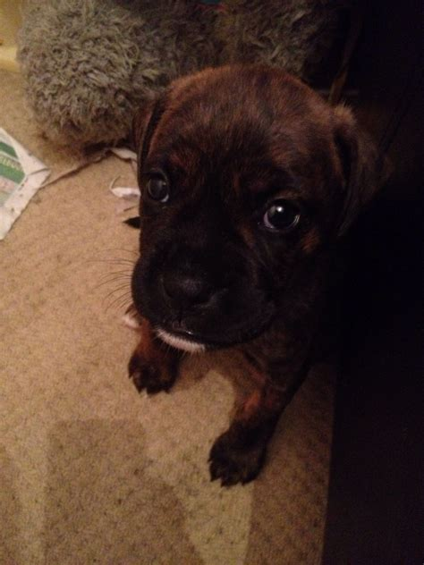 boxer rottweiler puppies for sale boxer rottweiler x boxweiler pups bolton greater manchester pets4homes