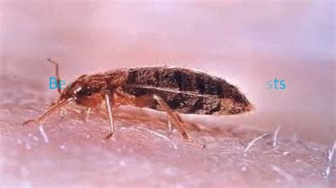 scabies or bed bugs difference between scabies and bed bugs youtube