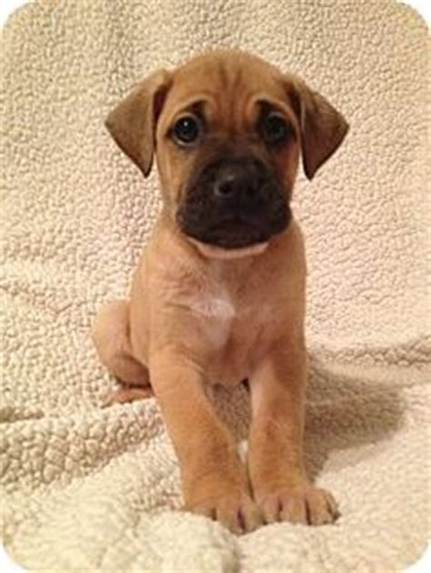 boxer lab puppies 25 best ideas about boxer mix on boxer mix puppies cutest mixes and
