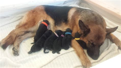 german shepherd puppy feeding german shepherd puppy birth live