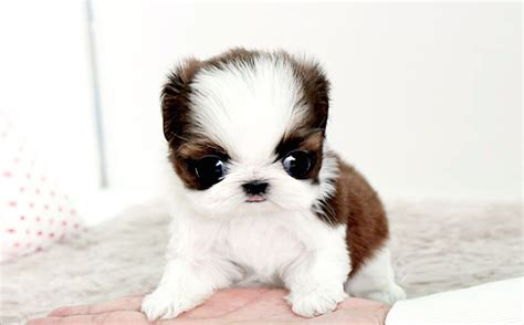 shih tzu and pomeranian puppies shih tzu puppies for sale buy a new puppy today