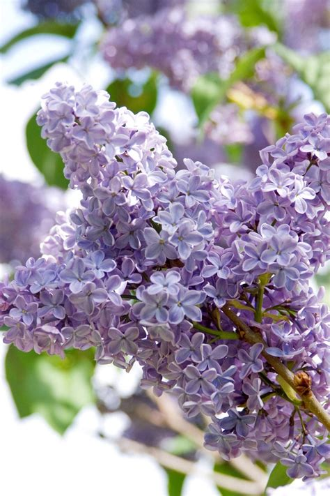 lilac tree image gallery lilac flowers and trees