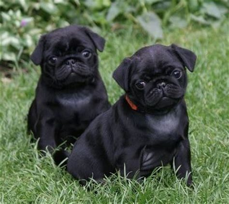 black pugs images 1000 images about pugs on pug pets and puppys
