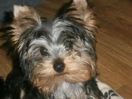yorkie panting and shaking fungal infections seen in dogs pets4homes