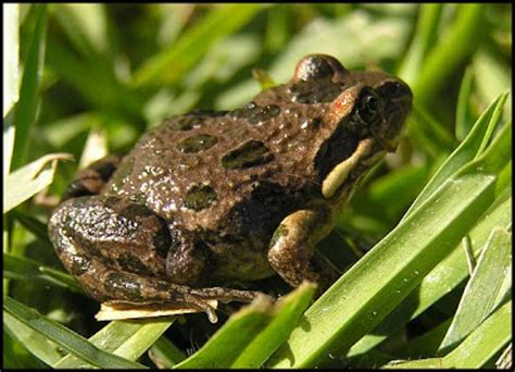 backyard frogs hunter valley backyard nature 51 a summary of my
