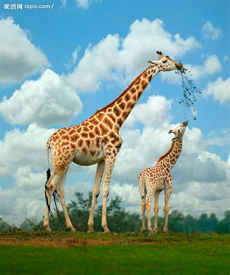 imagenes de jirafas en familia 长颈鹿母子摄影图 野生动物 生物世界 摄影图库 昵图网nipic com