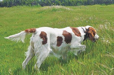 irish setters gun dog magazine irish red and white setter gun dog magazine