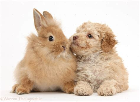 bunnies and puppies pets labradoodle puppy and fluffy bunny photo wp37336