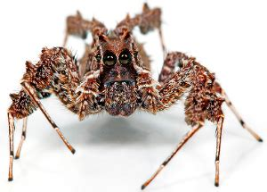 portia fimbriata fringed jumping spider