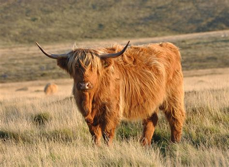 Highland Cow Pictures
