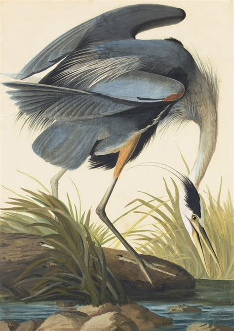 the not so complete birds afoul of america books parts unknown the great blue heron and white color morph