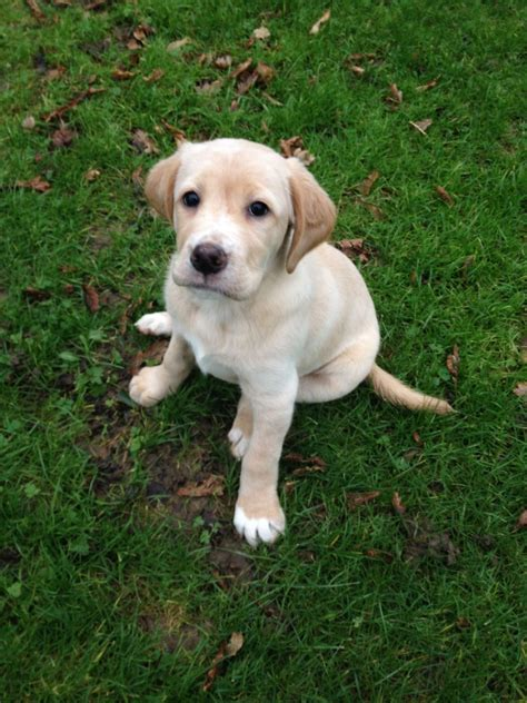 setter puppies for sale near me home breeds puppies for sale setter puppies breed breeds picture