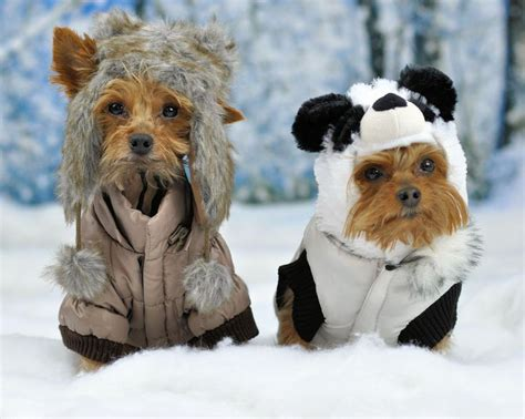 yorkies in the snow 7752 best images about i m a y o r k i e m o m on yorkies animals