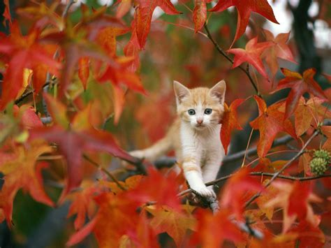 wallpaper chat automne fonds d 233 cran chats cats wallpapers wallpapers mania org