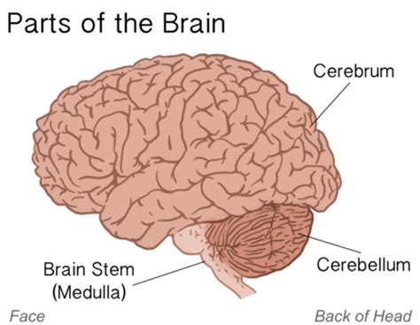 What Are The Four Sections Of The Brain by 4 Parts Of The Brain More Information Wypadki24 Info