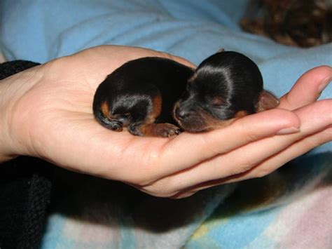 born puppies dorkie dachshund yorkie mix info temperament puppies pictures