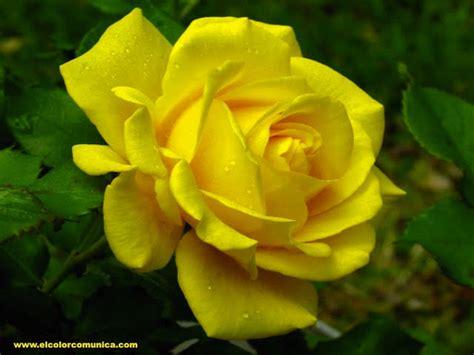 imagenes de rosas hermosas amarillas el color comunica significado de las rosas amarillas