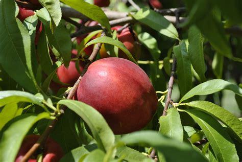 fruit on tree stark picks easy to grow fruit trees stark bro s