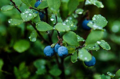 blueberry wallpaper blueberry plants hd wallpaper plants wallpapers