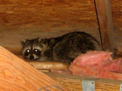 how to get rid of raccoons in my backyard how to get rid of raccoons 8 best ways and top 8 products