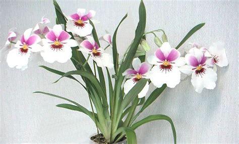 orchidee fiori appassiti miltonia y miltoniopsis t 233 cnicas de cultivo y principales