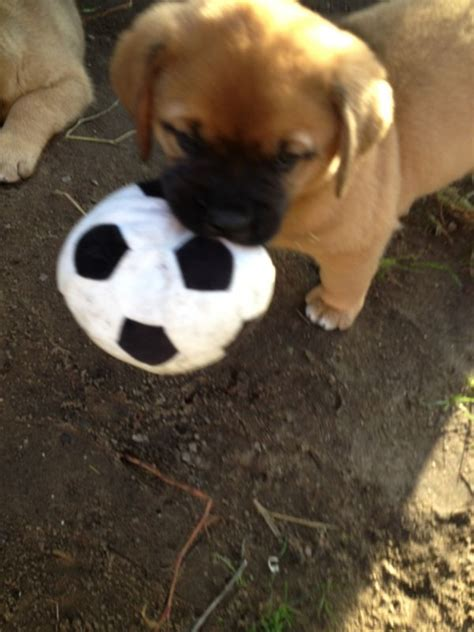 puppies for adoption delaware outstanding dogue de bordeaux puppies available for adoption