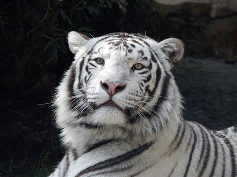 White Tiger L white tiger hd wallpapers high definition free