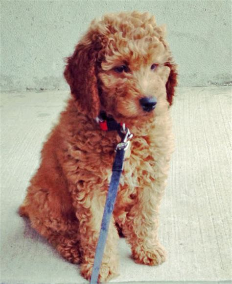 Rudy The Goldendoodle Puppies Daily Puppy