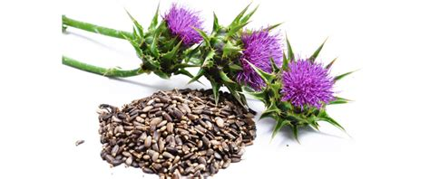 milk thistle for dogs milk thistle herb for dogs and cats