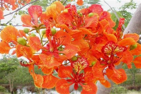 Benihbijibibit Bunga Bonsai Flamboyan Orange tokobungakarangan bunga flamboyan di halaman rumah