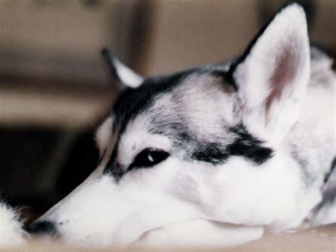 siberian puppy siberian husky dogs wallpaper 13788926 fanpop