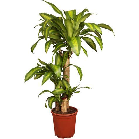drachenbaum dracaena fragrans drachenbaum quot massangeana quot 3er stamm topf 216 ca 24 cm