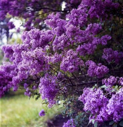 buy flowering shrubs 17 best images about landscaping ideas on