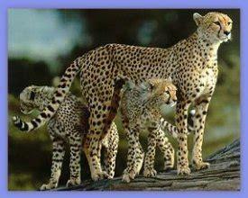 imagenes del jaguar con sus crias fotoscheetah