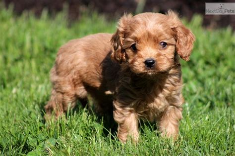 puppies for sale lancaster ca cavapoo puppy for sale near lancaster pennsylvania 05d823d3 2671